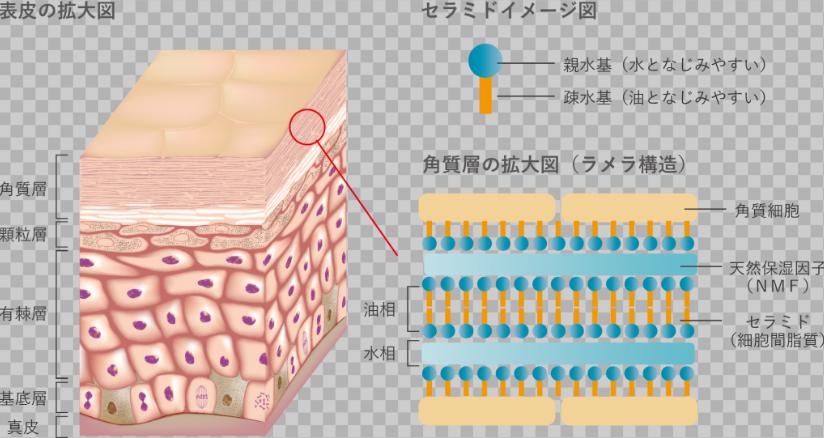 ラメラ 構造 セラミド