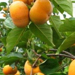柿の葉茶 効能 効果
